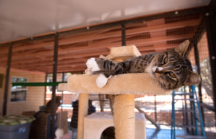 Pan the cat lying down on the top of a cat tree platform