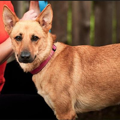 Adopt Scarlett the dog available for adoption from Houston