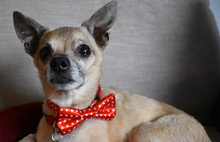 Griff the senior Chihuahua wearing a red bow tie with white polka dots