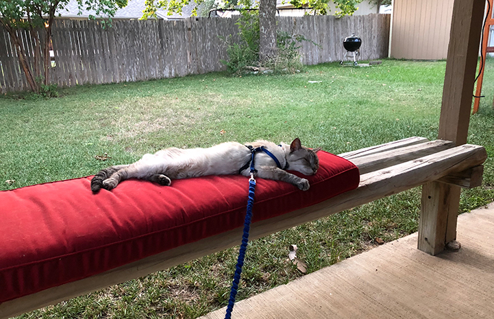 Knox, the Siamese FIV+ senior cat, on a leash outside, sleeping on a bench