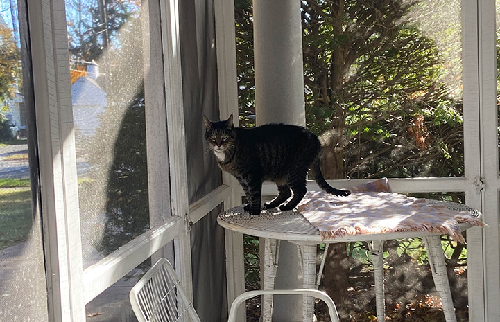 Wilbur the cat standing on a table in a catio/screened in porch