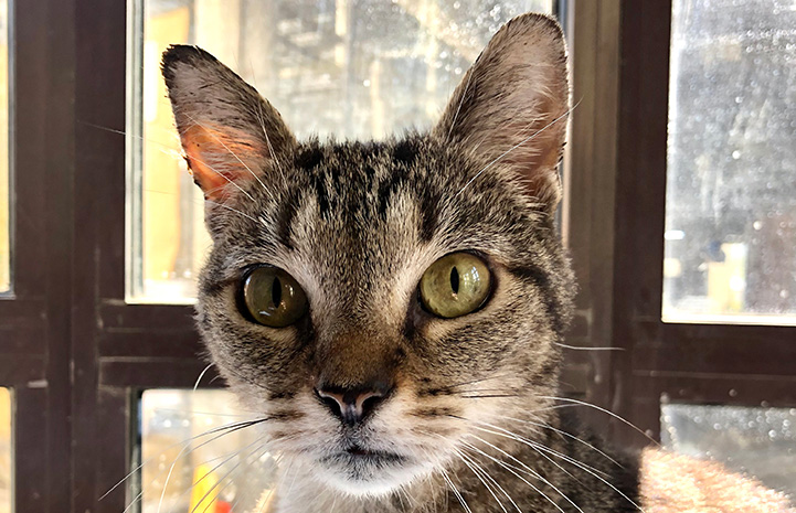 The face of Akiri the tabby cat in front of a window
