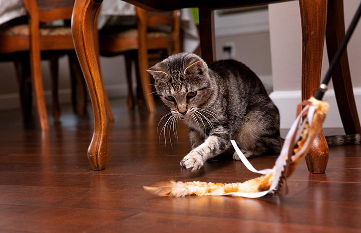 Akiri the cat playing with a wand toy