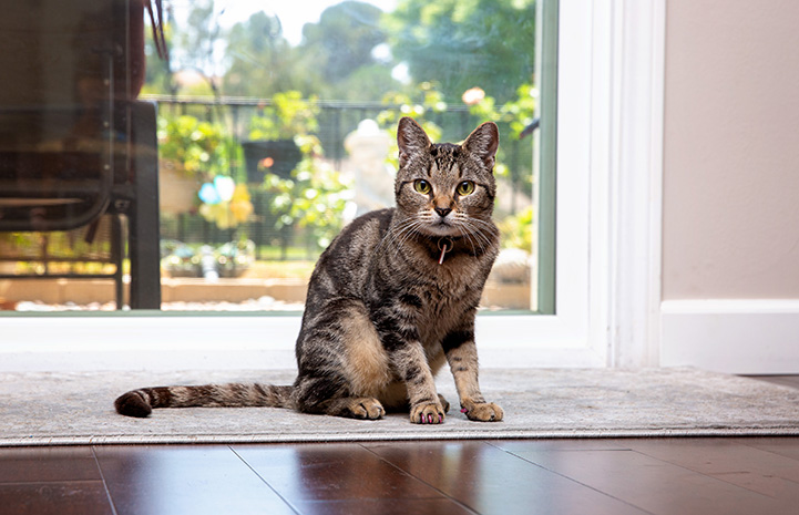 Akiri the tabby cat sitting in front of a window