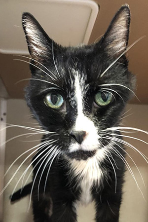 Close-up of the face of Mr. Meows, a black and white senior cat