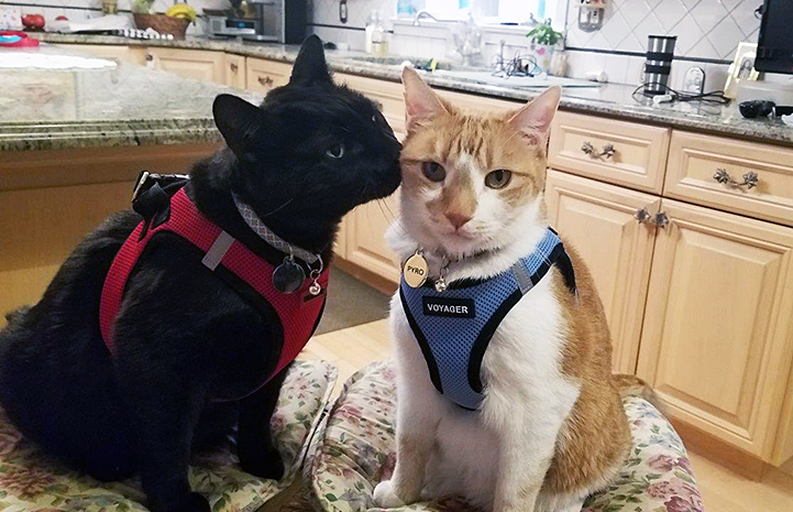 Pyro and Raoul the cats both wearing harnesses with the black cat sniffing the orange and white one