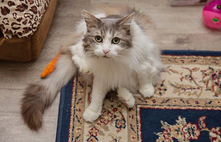 Sweet Pea, the medium hair gray and white cat, sitting on a rug in her home
