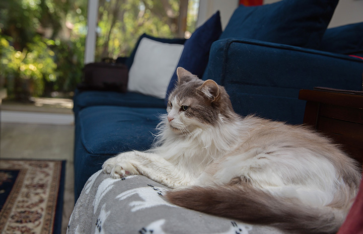 Medium hair gray and white cat, Sweet Pea, lying on a chair in front of a blue couch