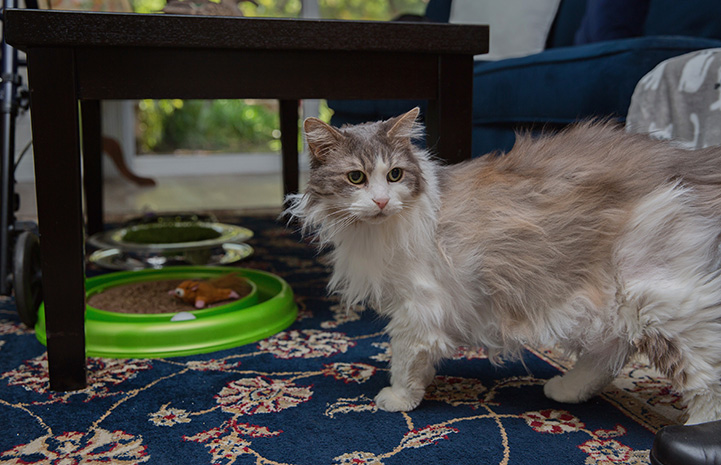 Sweet Pea, the medium hair gray and white cat, walking on a rug, with a couch and some cat toys behind her