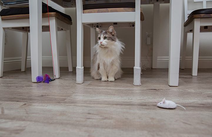 Sweet Pea the senior gray and white cat, sitting under a chair with a few cat toys scattered in front of her