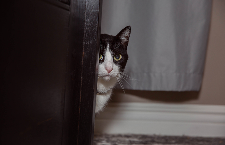Houdini the black and white cat peeking around a corner
