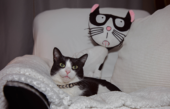 Houdini the black and white cat with a plush stuffed cat behind that that looks like him