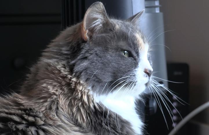 Profile of Harriet, a medium-hair, senior dilute calico cat