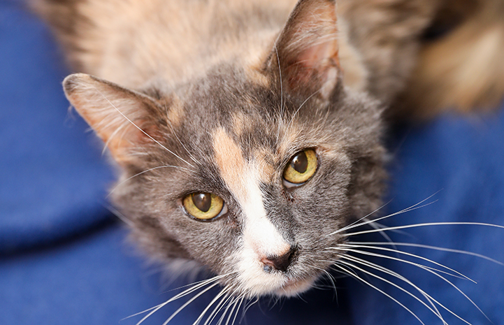 Dilute calico with amber eyes and medium-length hair looking up at the camera