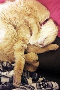Hootie the cream colored tabby cat taking a nap