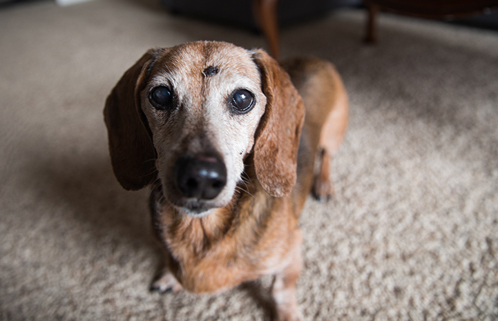 Senior dachshund with graying face looking at camera