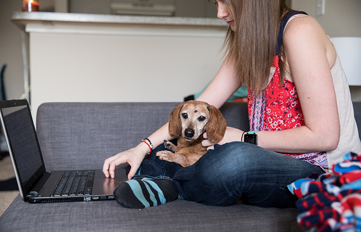Pepsi the senior dachshund sitting in Brittany Joy Drew's lap while she works on her laptop computer