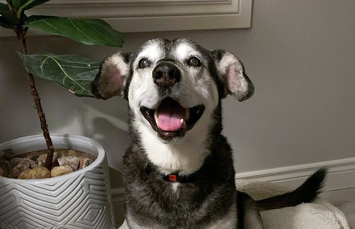 Jack the dog sitting on a dog bed with mouth open in a smile