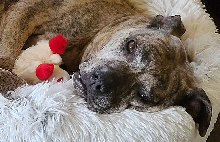 Gemma the senior brindle pit bull terrier lying in a dog bed with a toy