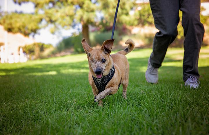 Minx the senior dog with one eye running