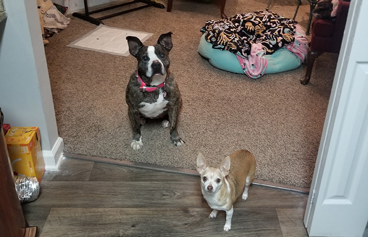 Princess Potato the dog standing by one of the adoptive family's other smaller dog, Punkin, the Chihuahua