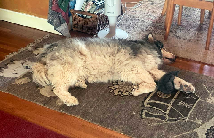 Gary the dog lying on a carpet on the floor with Gary the kitten sleeping over one of his front paws