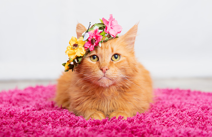 Orange tabby cat Peaches on a pink blanket wearing a flower crown