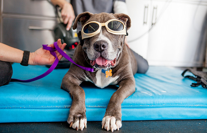 Sheena the dog lying with paws over a mat and wearing doggles
