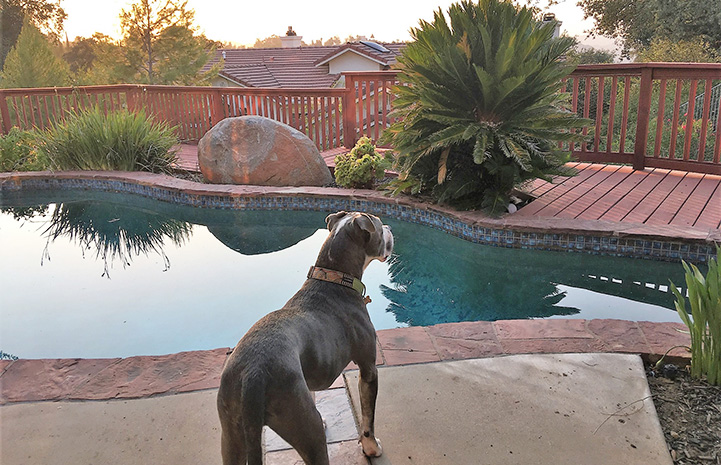 Senior pit bull Rocco beside a swimming pool
