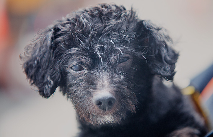 The face of Luigi, a black, senior poodle who was available for adoption from the Best Friends Lifesaving Center in New York