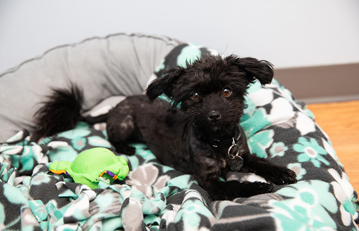 A recently groomed Squeak the black fluffy dog lying in a dog bed