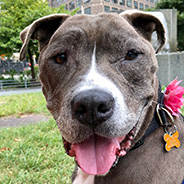 Adopt Sheena the dog available for adoption from New York