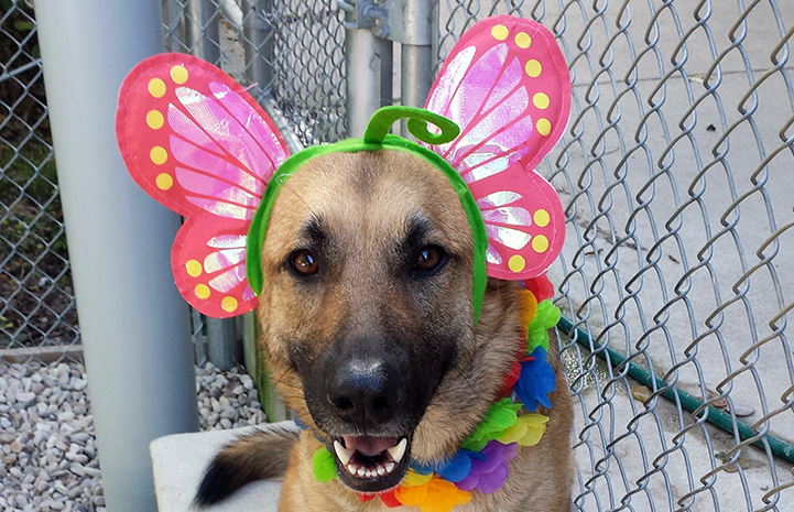 Polly the German shepherd with butterfly wing on her head