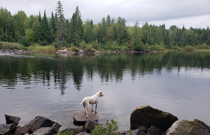 Doc the dog on a rock in a lake with pine trees in the background