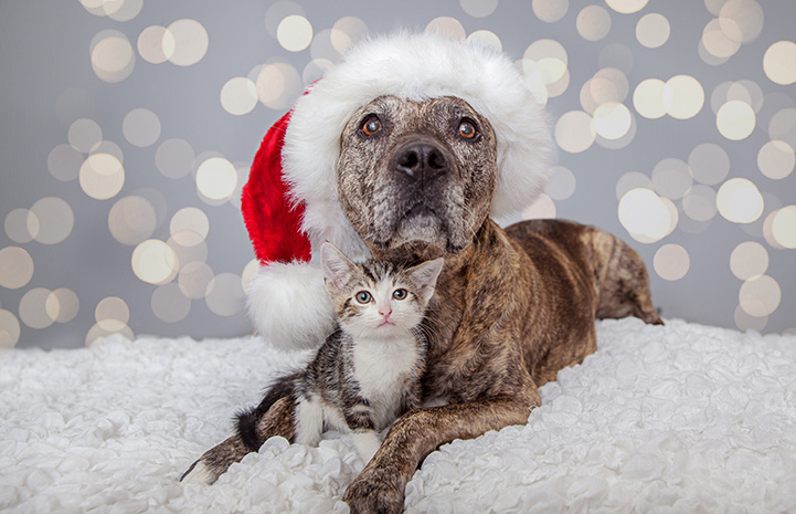 Brindle pit bull terrier wearing a Santa hat with a kitten sitting between his legs