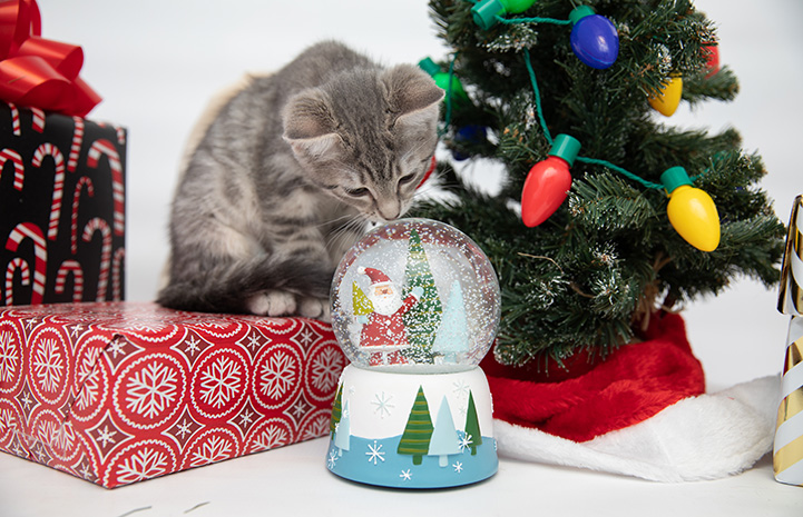 Gray tabby kitten sniffing a snow globe surrounded by holiday presents and a tree