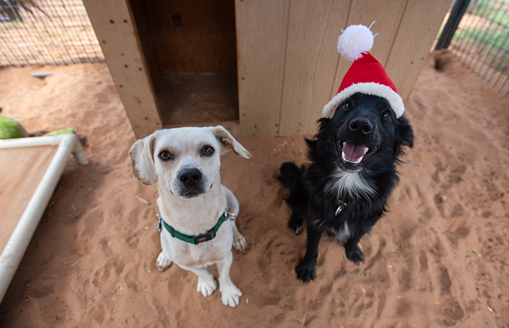 A small yellow dog sitting next to a black and white dog wearing a Santa hat