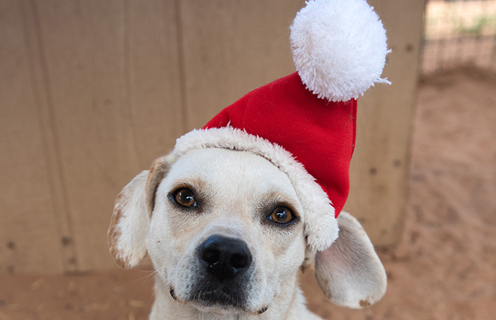 Small yellow dog wearing a Santa hat