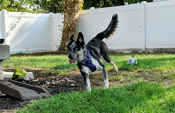 Azzurra the dog running outside in the yard