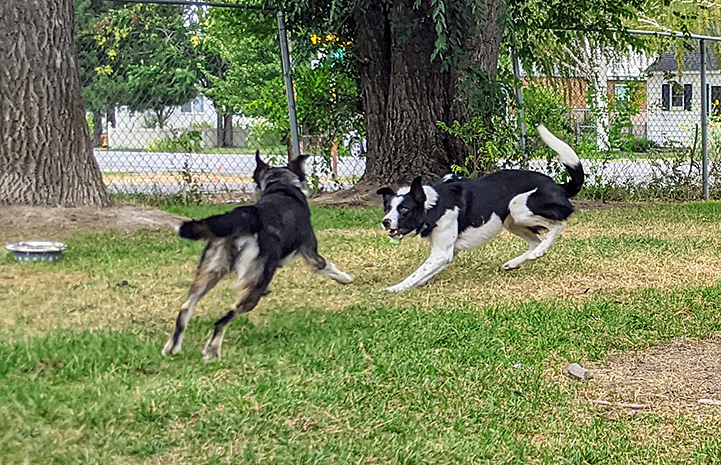 Azzurra and Petey the dogs running in the yard playing together