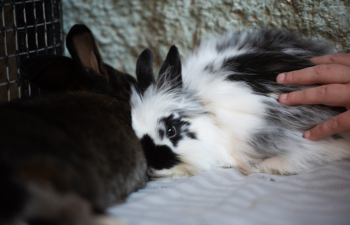 Firecracker the bunny being pet by a human hand while next to another rabbit