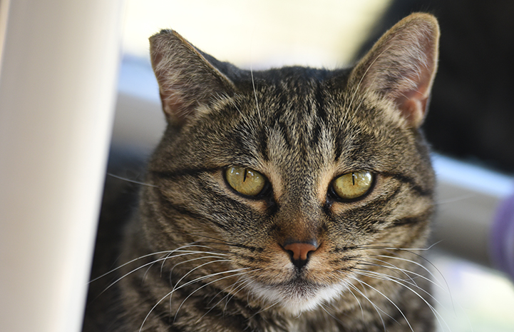 The face of Amberly, an introverted brown tabby cat