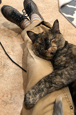 Everest the tortoiseshell cat lying on a person's lap