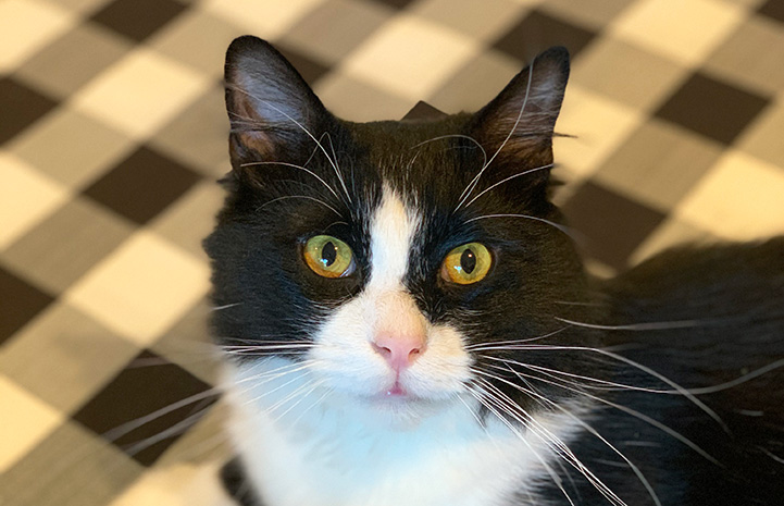 The face of Itty Bitty the black and white cat