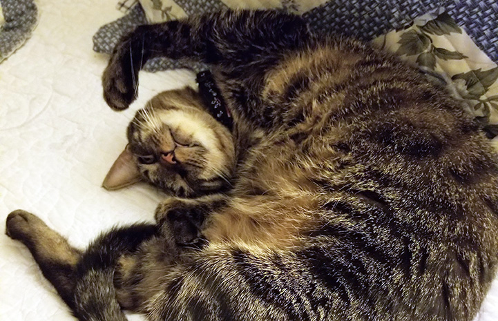 Fenny the brown tabby cat rolling over on his back to look cute