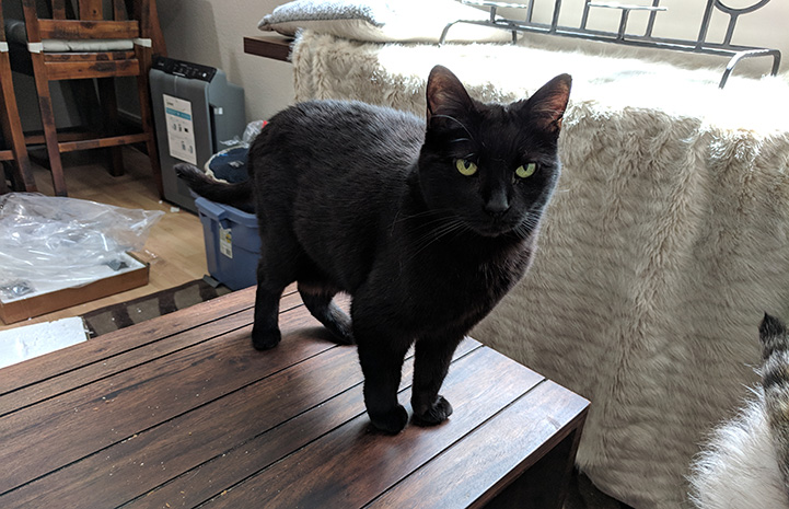 Harrison the black cat standing on a wooden table