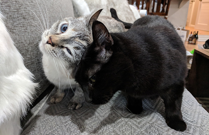 A head bump between Harrison the black cat and a Siamese mix cat