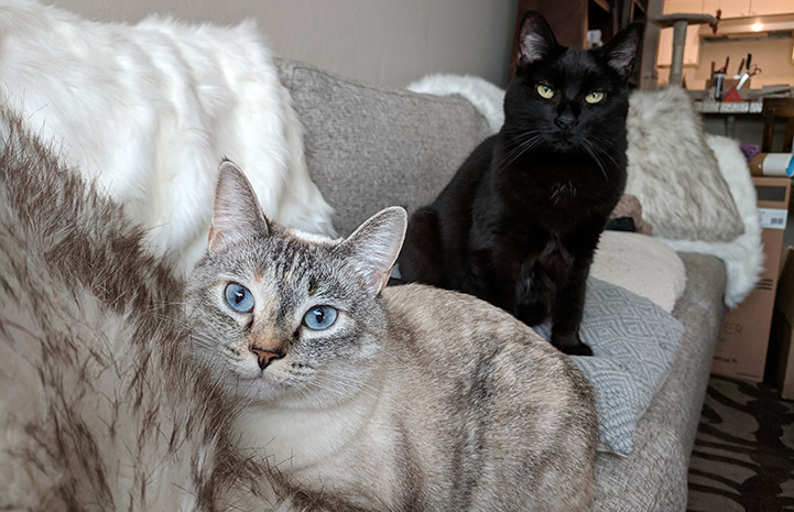 Harrison the black cat sitting on the couch behind a Siamese mix cat