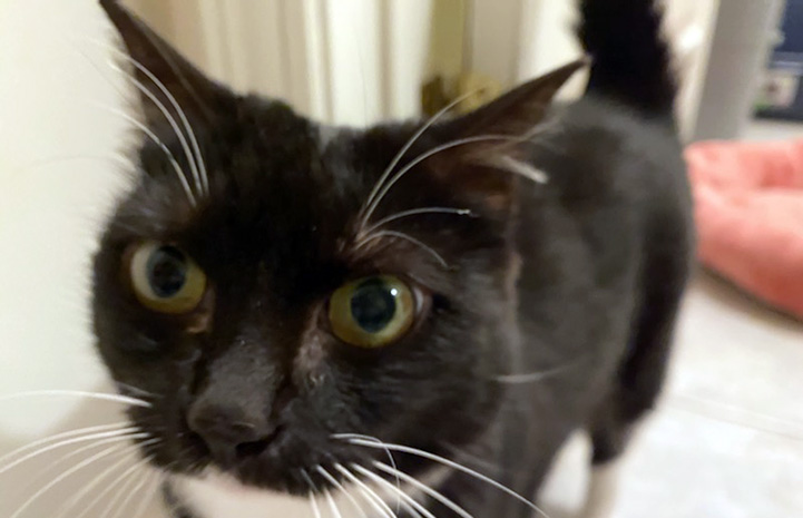 A close-up of the face of St. Clair the black and white cat