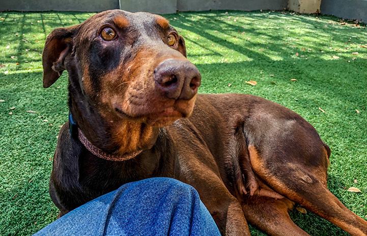 Hannah the doberman lying on the grass